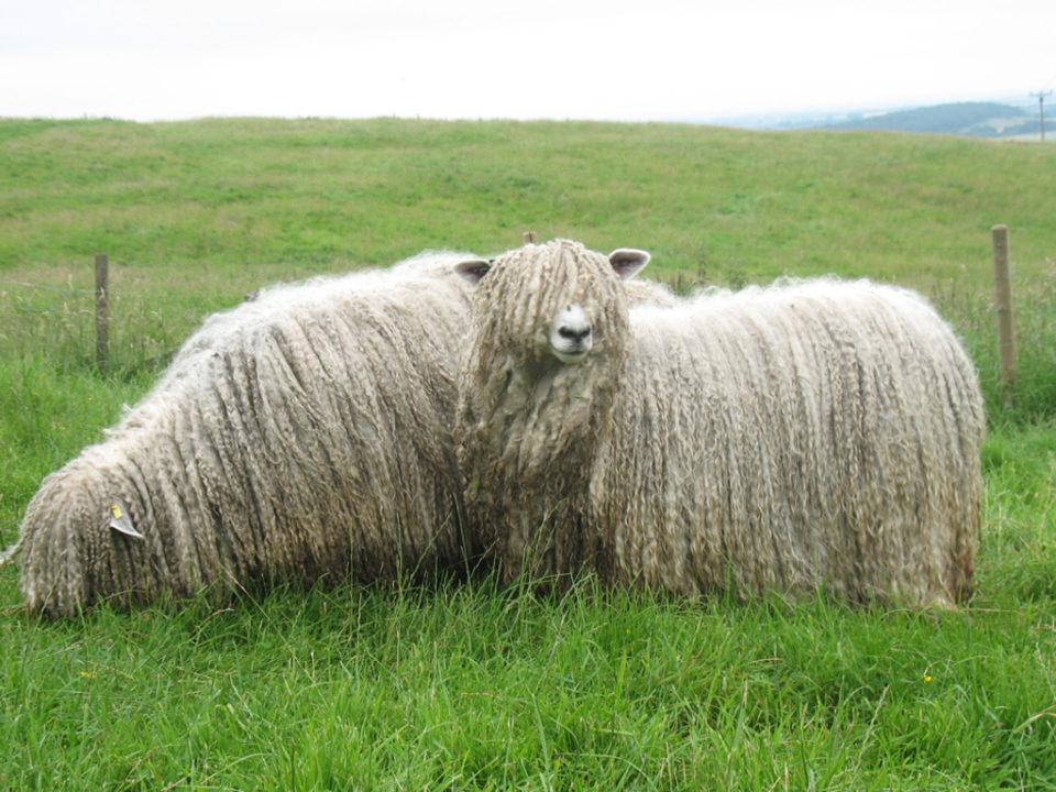 domba berbulu lebat panjang